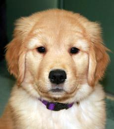 Puppy golden retriever nj